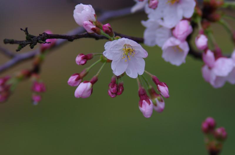 Sakura2017048f
