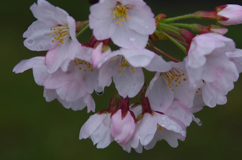 Sakura2017048h