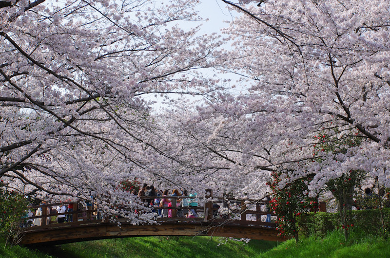 Sakura20170409d