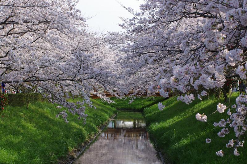 Sakura20170409g