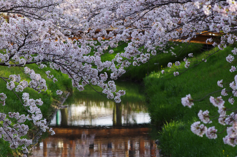 Sakura20170409g2