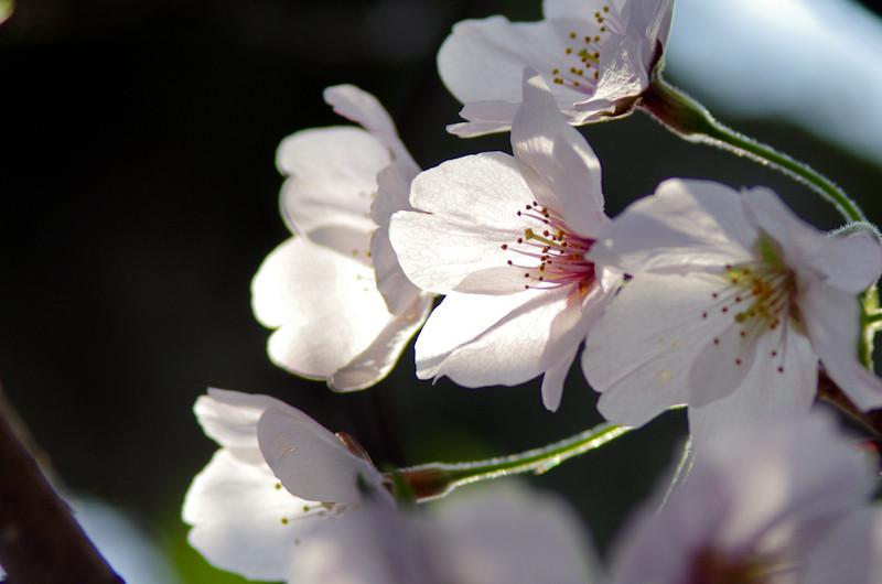 Sakura20170409h