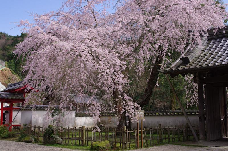 Sakura20170412b