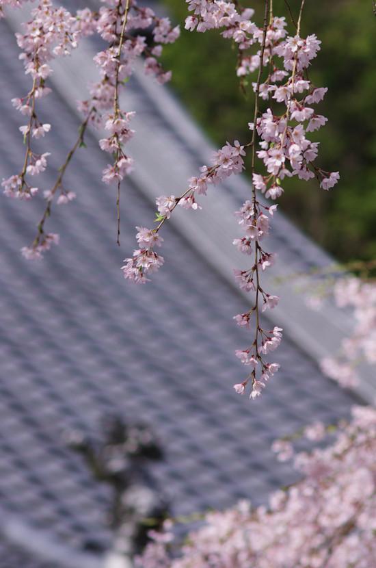 Sakura20170412b2