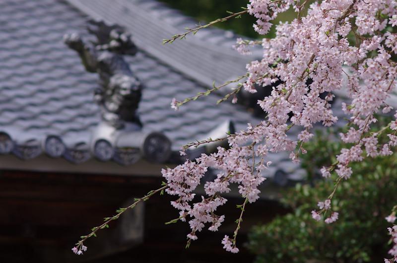 Sakura20170412g1