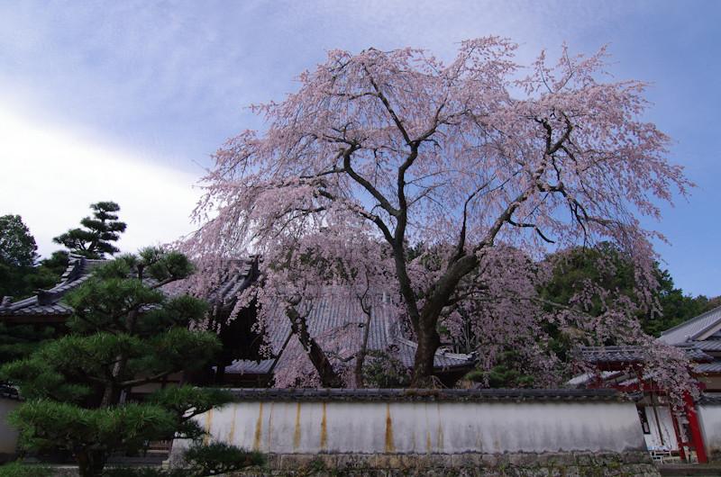 Sakura20170412h