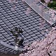 Sakura20170412c